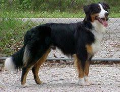 australian shepherd vs english shepherd english shepherd america u0027s utility dog looks just like my
