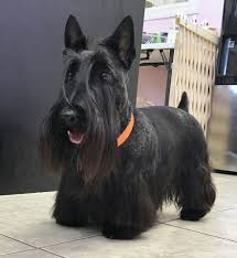 scottish yerrier haircuts pet grooming styles dog grooming in ta