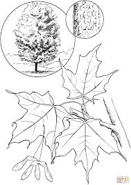 sugar maple tree coloring page free printable coloring pages
