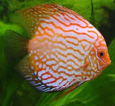 wikipedia wikiproject aquarium fishes wikipedia