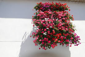 file flower laden balcony and whitewashed wall cordoba spain