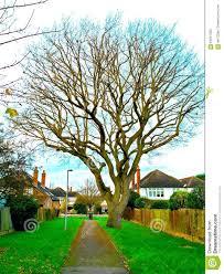 winter oak tree on a peaceful path way stock photo image 64047005