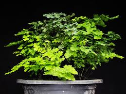the most poisonous plants in australia hipages com au these plants are actually hard to kill