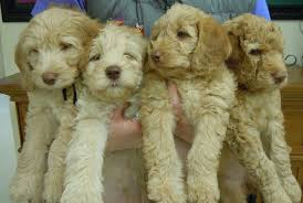 goldendoodle puppy treats our goldendoodle puppies are for salelooking for a loving home for
