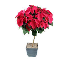 shop 2 50 gallon poinsettia tree l22289 at lowes