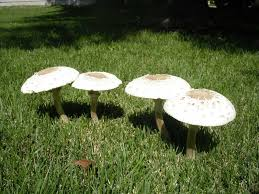 Types Of Garden Fungus - lawn mushrooms and fairy rings