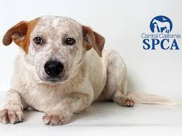 adopt a australian shepherd leo is a 2 year old male white and tan australian shepherd