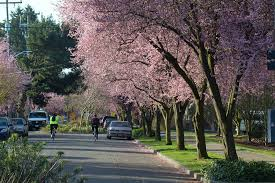 seattle ballard neighborhoods cherry trees cherry tree streets