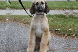 afghan hound giving birth apollo unraveled chapter 2 rosefinch kinneret12