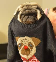 pug sweater pug on a pug s pugly sweater imgur