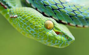 a green snake wallpapers snake wallpaper 1920x1200 id 44347 wallpapervortex com