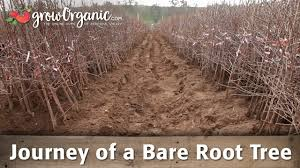 the journey of our bare root fruit trees youtube