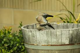 the backyard birder mourning doves caught mating