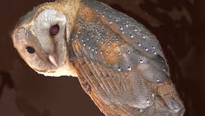 Where Do Barn Owls Live What Type Of Ecosystem Does An Owl Live In Sciencing