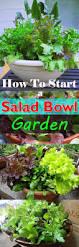 how to start a salad bowl garden balcony garden web