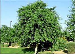 best 25 desert trees ideas on s