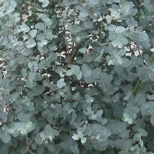 silver drop eucalyptus proven winners steel tower eucalyptus live plant silver foliage