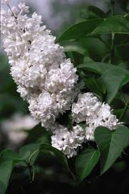 Lilca by Best 25 Syringa Vulgaris Ideas Only On Pinterest Lilac Plant