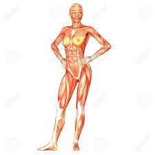 Human Body Female Anatomy 392 Female Organism Cliparts Stock Vector And Royalty Free Female