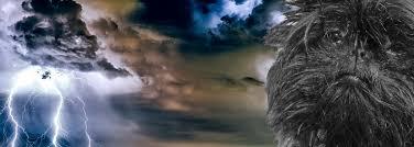 affenpinscher lab mix affenpinscher stress relaxing dog aromatherapy thunderstorms