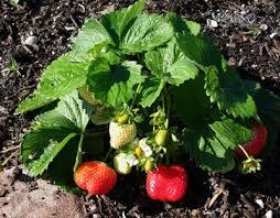 Strawberry Garden Beds Strawberries Gardening Solutions University Of Florida
