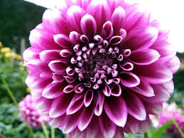 dahlias flowers 50x purple dahlia flower seeds beauty easy to grow home garden