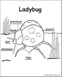 animal diagrams ladybug labeled parts abcteach
