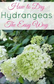 dried hydrangeas lazy girl s guide to drying hydrangeas house of hawthornes