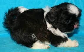 puppies indiana nursery indiana shih tzu puppies for sale in akc shih tzu