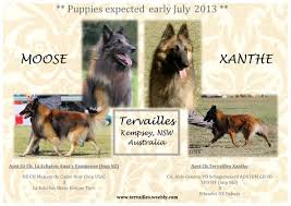 belgian shepherd nz litters tervailles kennel