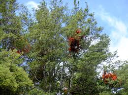 native plants in new zealand mistletoes and mutualism u2014 science learning hub