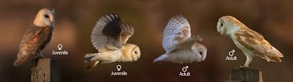 Barn Owl Photography Barn Owl John Betts Photography