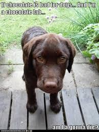 Chocolate Lab Meme - i has a hotdog chocolate lab funny dog pictures dog memes