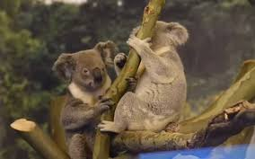 two koalas will call the kansas city zoo home for the summer and