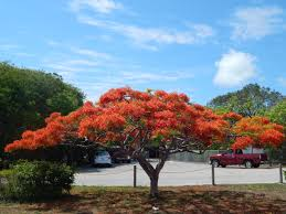 tropical trees royal poinciana delonix regia flowering and