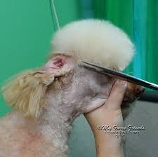 different toy poodle cuts my way i say my way because i am sure that different groomers