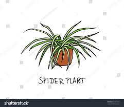 Spider Plant Vector Illustration Hand Drawn Spider Plant Stock Vector 616615877