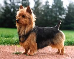 silky terrier hair cut 13 best grooming inspiration yorkie silky terrier australian