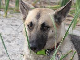 belgian shepherd dog temperament free images vertebrate dog breed belgian shepherd malinois