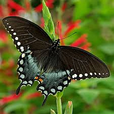 open wing color black butterflies gardens with wings
