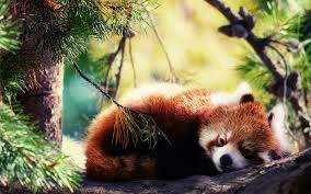 red panda backgrounds wallpaper cave
