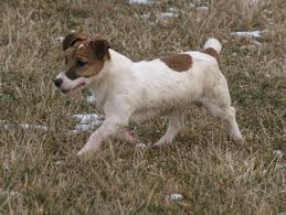 australian shepherd jack russell mix fabrizius farm akc chocolate and yellow lab puppies thoroughbred