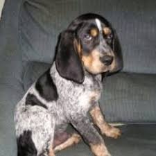 bluetick coonhound kennels in ga marietta ga bluetick coonhound meet beaudacious aka bo a dog