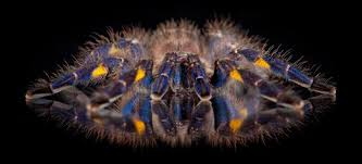 new study reveals what s a tarantula s blue hue scripps