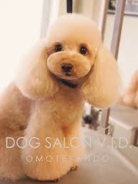 different toy poodle cuts 689 best grooming images on pinterest grooming dogs dog grooming