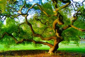 best types of japanese trees for landscaping 2017 revie