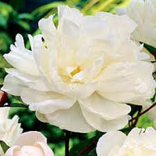 Most Fragrant Plants - the most fragrant peony garden org