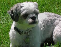 bichon frise 17 years old weebo the bichon frise mix shihtzu mixed breeds pinterest