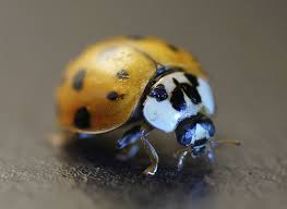 ladybug control and treatments for the home yard and garden