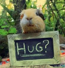 Guinea Pig Meme - funny guinea pig meme hutch a good life